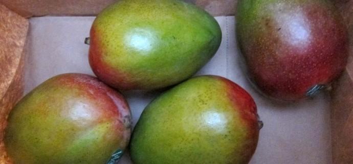 how to ripen mangos
